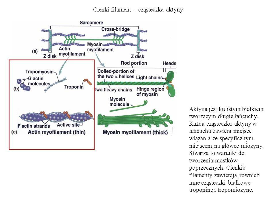 Cienki filament - cząsteczka aktyny Aktyna jest kulistym białkiem tworzącym długie łańcuchy. Każda cząsteczka aktyny w łańcuchu zawiera miejsce wiązan