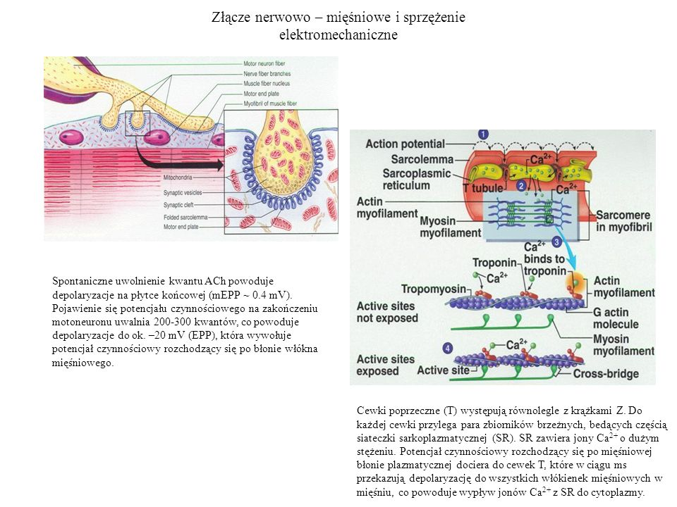 Złącze nerwowo – mięśniowe i sprzężenie elektromechaniczne Cewki poprzeczne (T) występują równolegle z krążkami Z. Do każdej cewki przylega para zbior