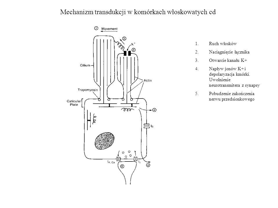 Mechanizm transdukcji w komórkach włoskowatych cd 1.Ruch włosków 2.Naciągnięcie łącznika 3.Otwarcie kanału K+ 4.Napływ jonów K+ i depolaryzacja kmórki