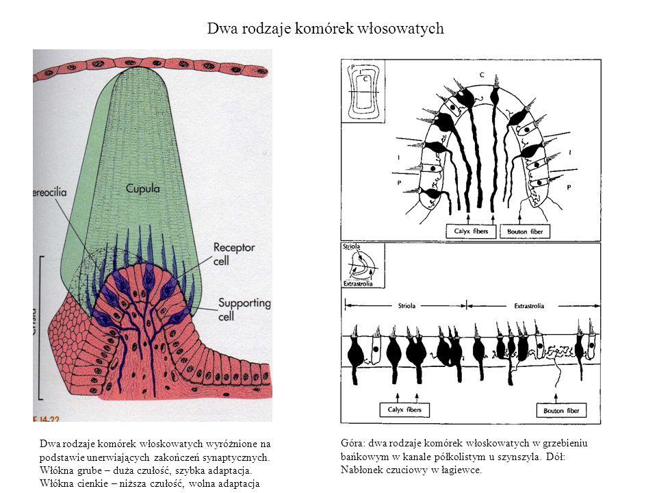 Dwa rodzaje komórek włosowatych Dwa rodzaje komórek włoskowatych wyróżnione na podstawie unerwiających zakończeń synaptycznych. Włókna grube – duża cz