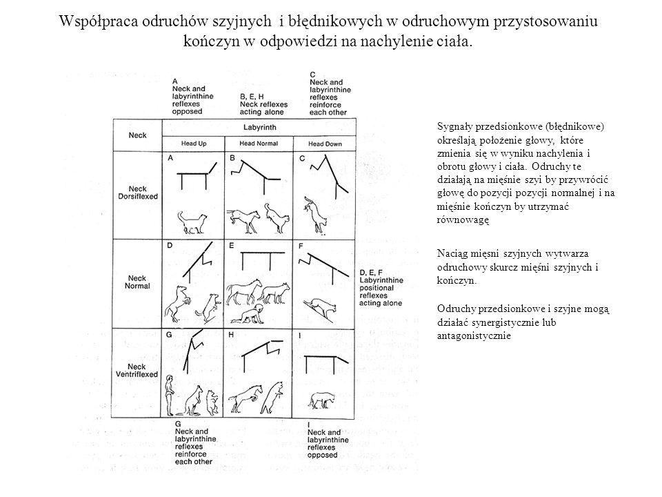 Współpraca odruchów szyjnych i błędnikowych w odruchowym przystosowaniu kończyn w odpowiedzi na nachylenie ciała. Sygnały przedsionkowe (błędnikowe) o