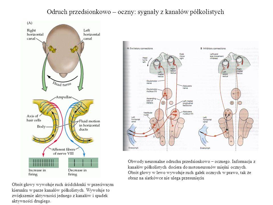 Odruch przedsionkowo – oczny: sygnały z kanałów półkolistych Obrót głowy wywołuje ruch śródchłonki w przeciwnym kierunku w parze kanałów półkolistych.