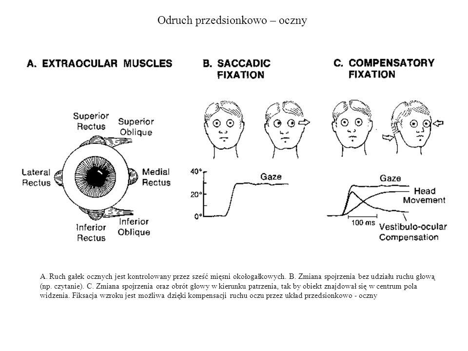 Odruch przedsionkowo – oczny A. Ruch gałek ocznych jest kontrolowany przez sześć mięsni okołogałkowych. B. Zmiana spojrzenia bez udziału ruchu głową (