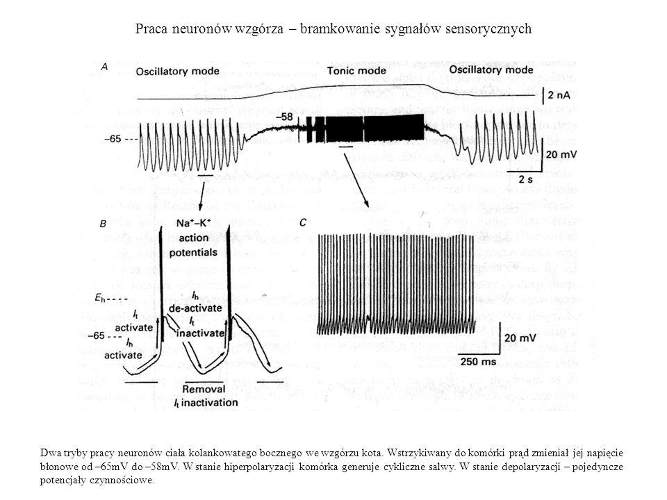 Praca neuronów wzgórza – bramkowanie sygnałów sensorycznych Dwa tryby pracy neuronów ciała kolankowatego bocznego we wzgórzu kota. Wstrzykiwany do kom