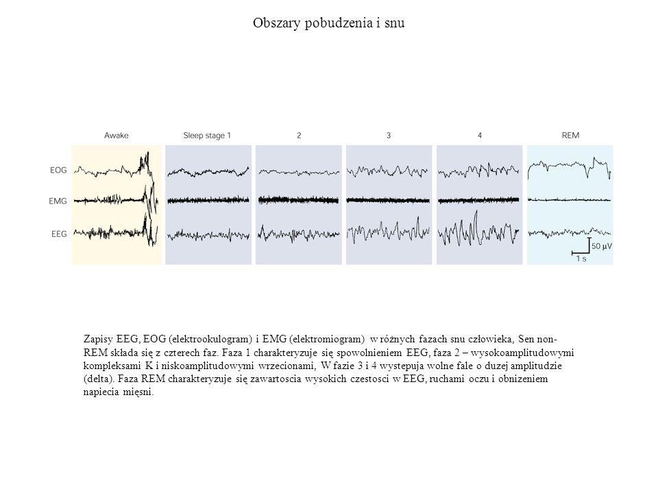 Obszary pobudzenia i snu Zapisy EEG, EOG (elektrookulogram) i EMG (elektromiogram) w różnych fazach snu człowieka, Sen non- REM składa się z czterech
