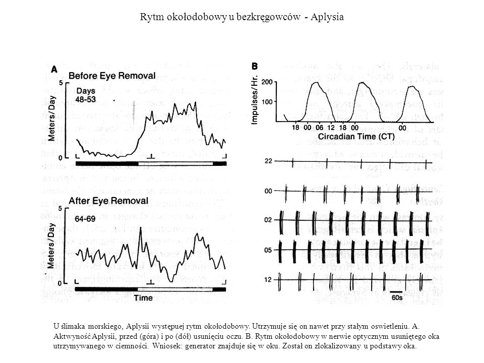 Rytm okołodobowy u bezkręgowców - Aplysia U ślimaka morskiego, Aplysii występuej rytm okołodobowy. Utrzymuje się on nawet przy stałym oswietleniu. A.