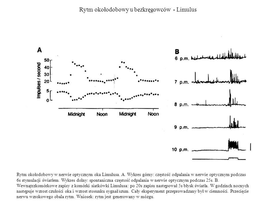 Rytm okołodobowy u bezkręgowców - Limulus Rytm okołodobowy w nerwie optycznym oka Limulusa. A. Wykres górny: częstość odpalania w nerwie optycznym pod