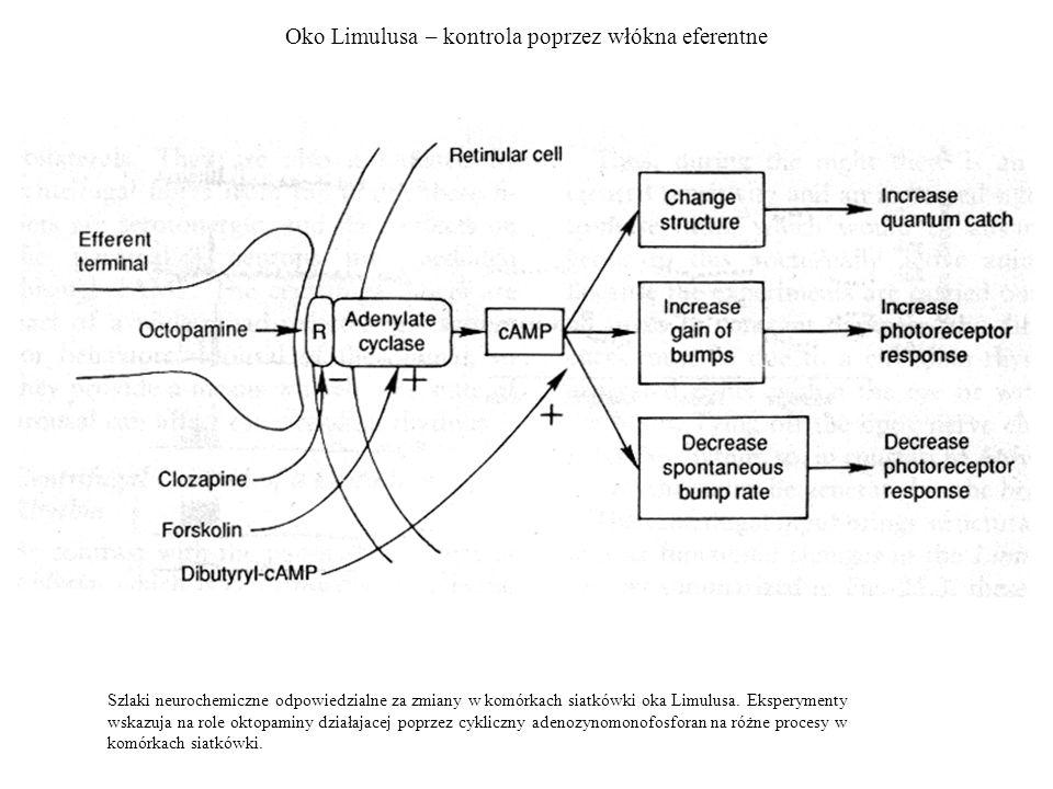 Oko Limulusa – kontrola poprzez włókna eferentne Szlaki neurochemiczne odpowiedzialne za zmiany w komórkach siatkówki oka Limulusa. Eksperymenty wskaz