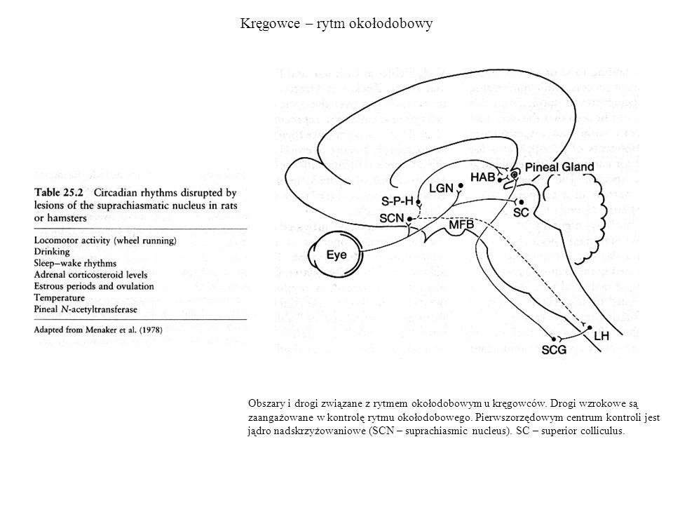 Kręgowce – rytm okołodobowy Obszary i drogi związane z rytmem okołodobowym u kręgowców. Drogi wzrokowe są zaangażowane w kontrolę rytmu okołodobowego.