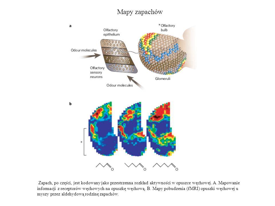 Mapy zapachów Zapach, po części, jest kodowany jako przestrzenna rozkład aktywności w opuszce węchowej. A. Mapowanie informacji z receptorów węchowych