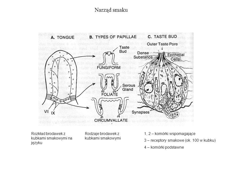 Narząd smaku 1, 2 – komórki wspomagające 3 – receptory smakowe (ok. 100 w kubku) 4 – komórki podstawne Rozkład brodawek z kubkami smakowymi na języku