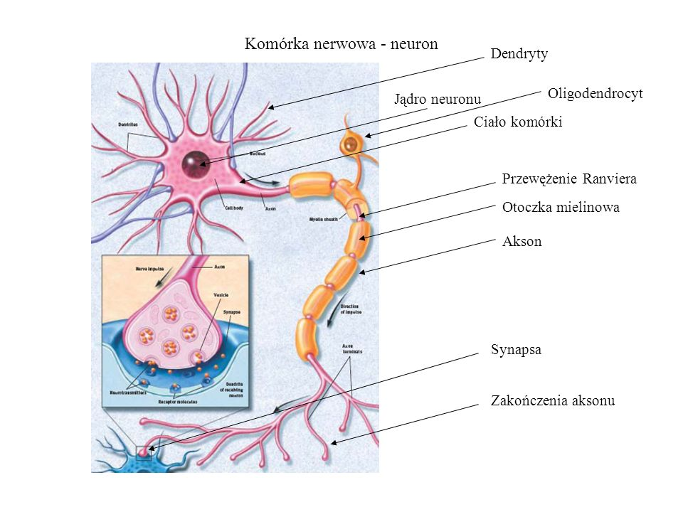 Komórka nerwowa - neuron Jądro neuronu Dendryty Ciało komórki Przewężenie Ranviera Otoczka mielinowa Akson Zakończenia aksonu Oligodendrocyt Synapsa