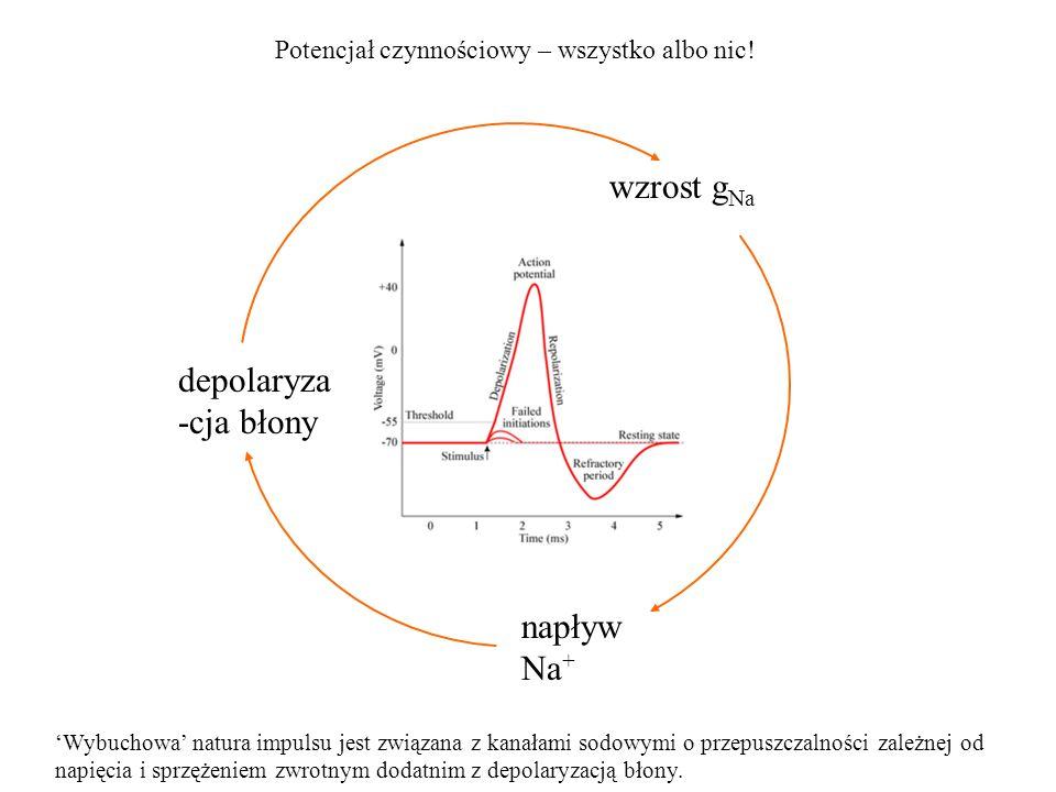 wzrost g Na Potencjał czynnościowy – wszystko albo nic! depolaryza -cja błony napływ Na + Wybuchowa natura impulsu jest związana z kanałami sodowymi o