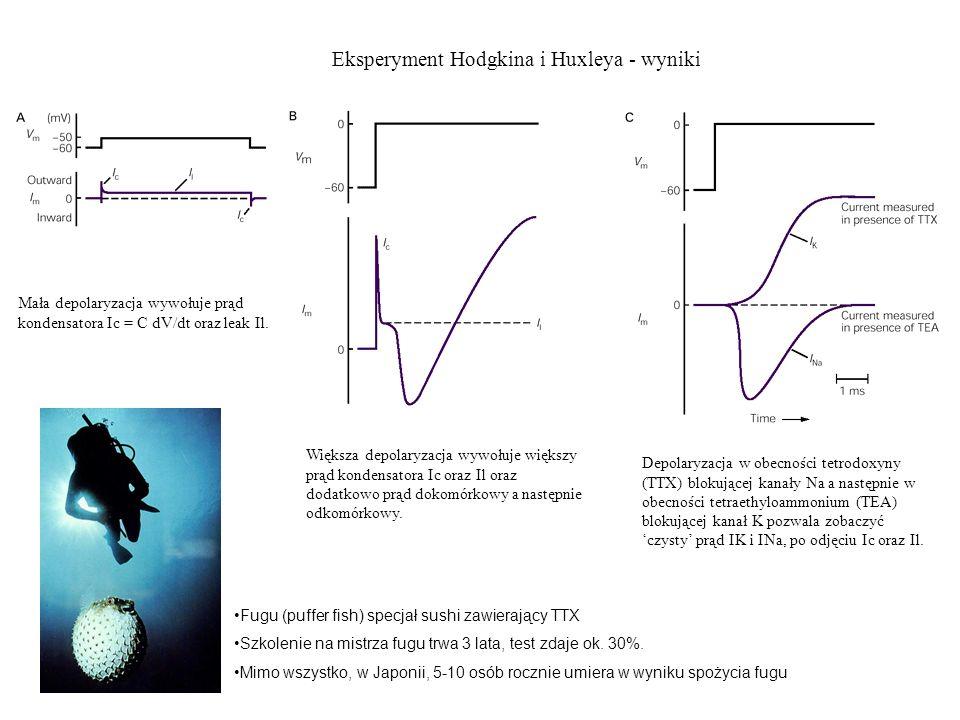 Eksperyment Hodgkina i Huxleya - wyniki Mała depolaryzacja wywołuje prąd kondensatora Ic = C dV/dt oraz leak Il. Większa depolaryzacja wywołuje większ