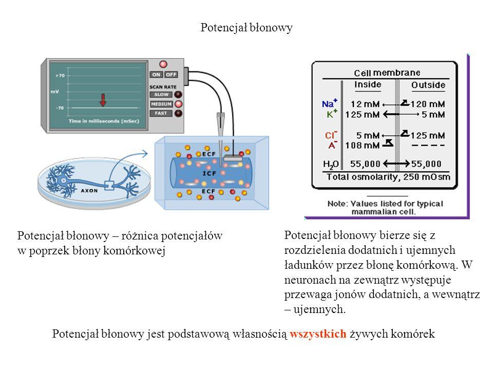 Potencjał błonowy Potencjał błonowy bierze się z rozdzielenia dodatnich i ujemnych ładunków przez błonę komórkową. W neuronach na zewnątrz występuje p