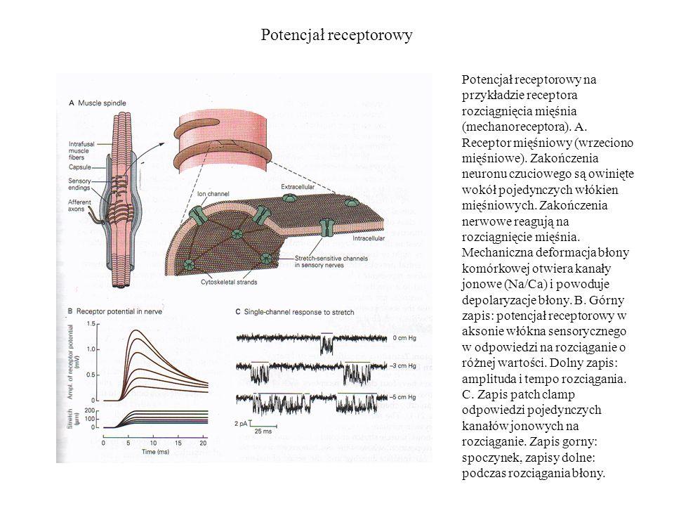 Potencjał receptorowy Potencjał receptorowy na przykładzie receptora rozciągnięcia mięśnia (mechanoreceptora). A. Receptor mięśniowy (wrzeciono mięśni