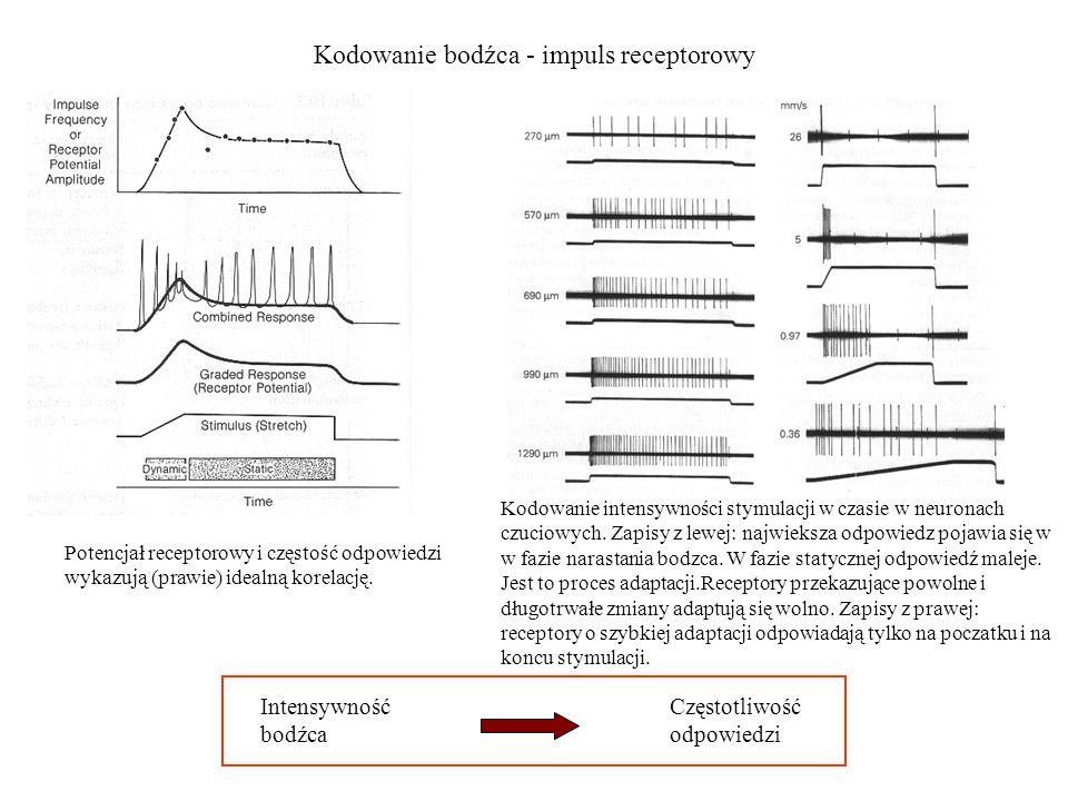 Kodowanie bodźca - impuls receptorowy Intensywność bodźca Częstotliwość odpowiedzi Potencjał receptorowy i częstość odpowiedzi wykazują (prawie) ideal