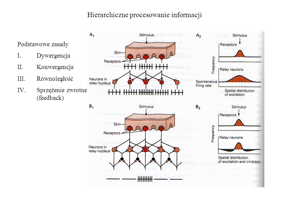 Hierarchiczne procesowanie informacji Podstawowe zasady I.Dywergencja II.Konwergencja III.Równoległość IV.Sprzężenie zwrotne (feedback)