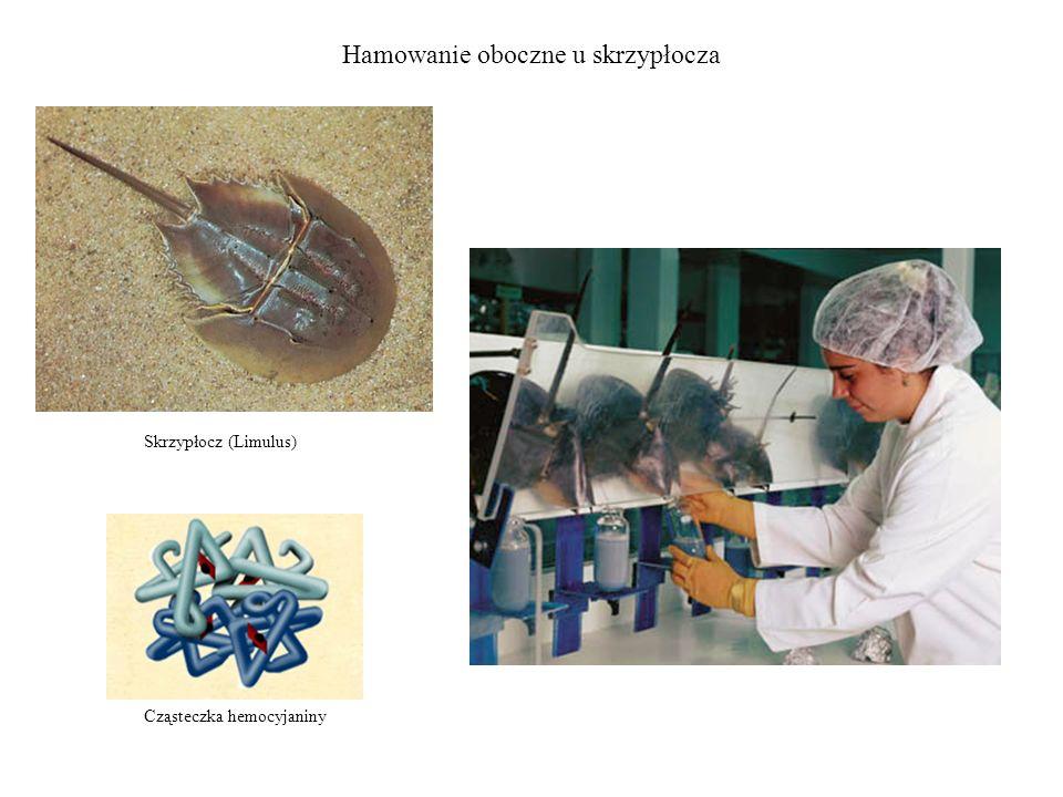 Hamowanie oboczne u skrzypłocza Skrzypłocz (Limulus) Cząsteczka hemocyjaniny