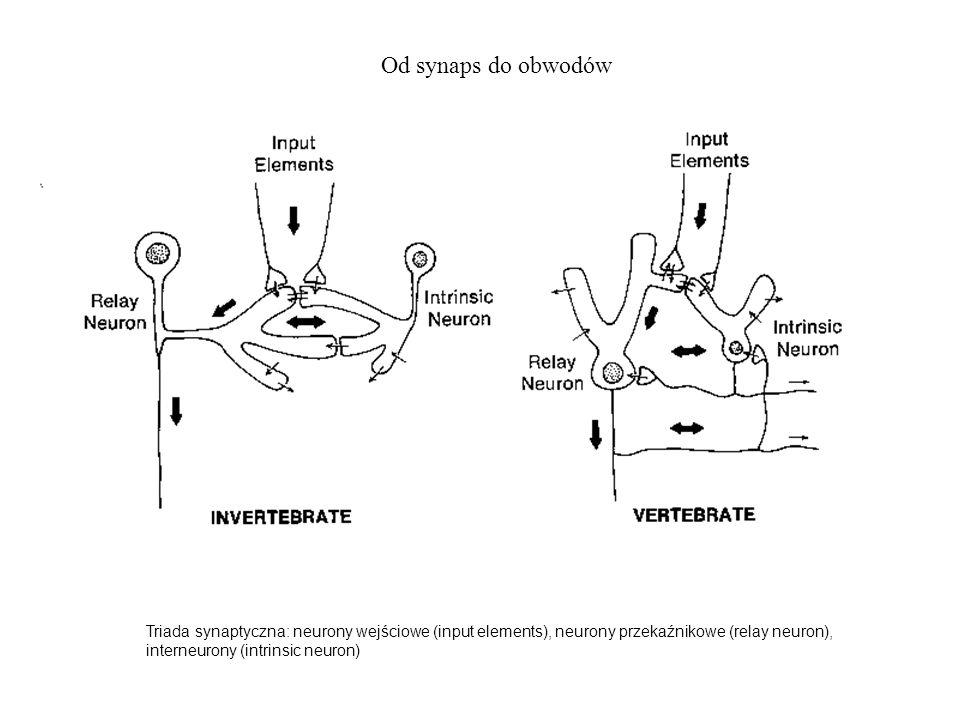 Triada synaptyczna: neurony wejściowe (input elements), neurony przekaźnikowe (relay neuron), interneurony (intrinsic neuron) Od synaps do obwodów