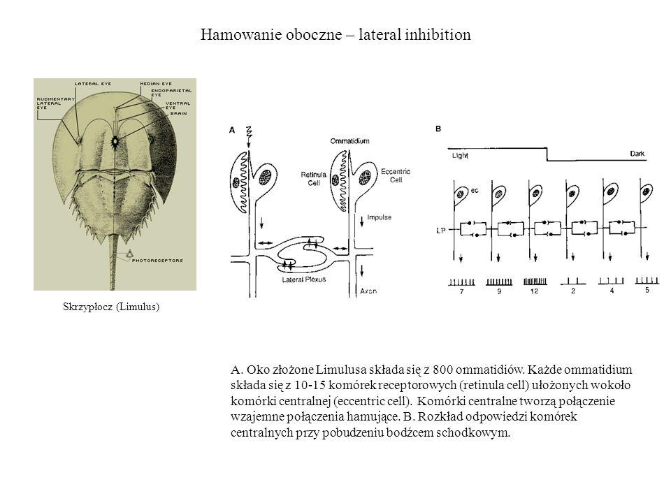 Hamowanie oboczne – lateral inhibition Skrzypłocz (Limulus) A. Oko złożone Limulusa składa się z 800 ommatidiów. Każde ommatidium składa się z 10-15 k