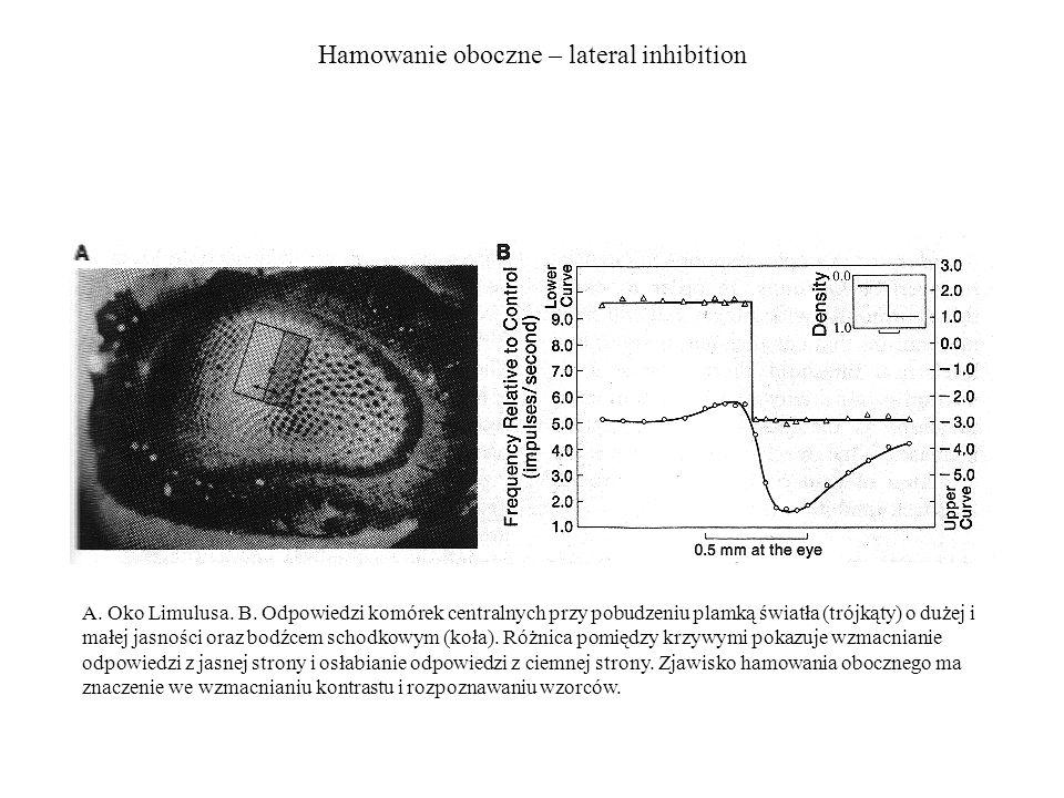 Hamowanie oboczne – lateral inhibition Skrzypłocz (Limulus) A. Oko Limulusa. B. Odpowiedzi komórek centralnych przy pobudzeniu plamką światła (trójkąt