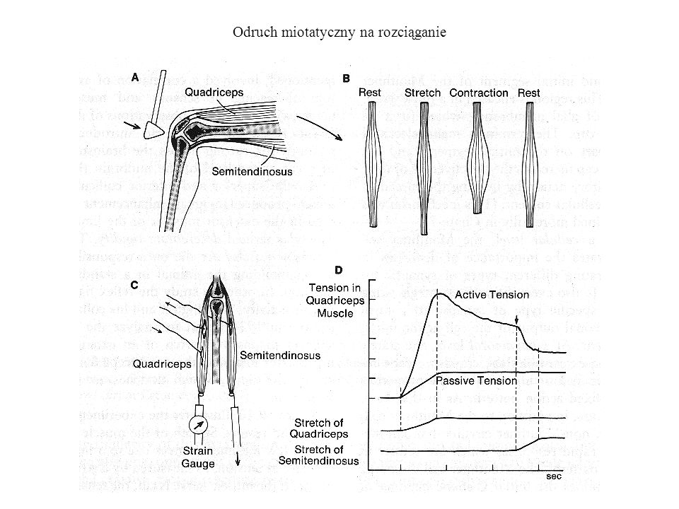 Odruchy mięśniowe i skórne Badanie obwodów odruchów.