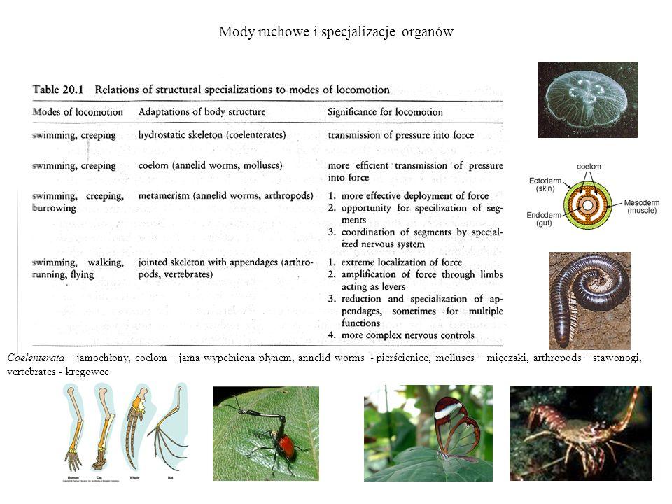 Mody ruchowe i specjalizacje organów Coelenterata – jamochłony, coelom – jama wypełniona płynem, annelid worms - pierścienice, molluscs – mięczaki, ar