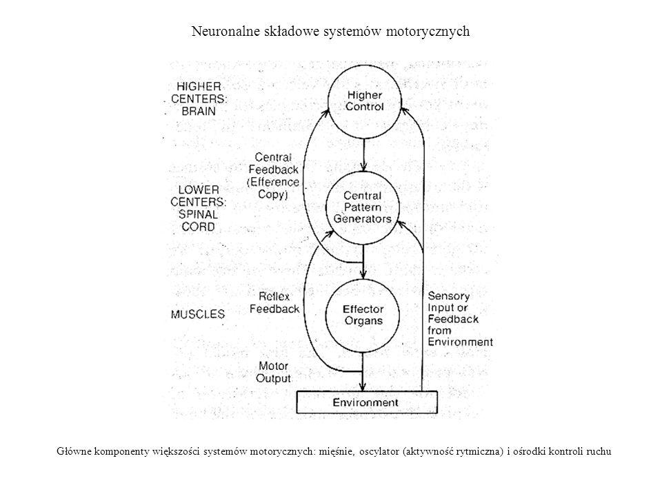 Neuronalne składowe systemów motorycznych Główne komponenty większości systemów motorycznych: mięśnie, oscylator (aktywność rytmiczna) i ośrodki kontr