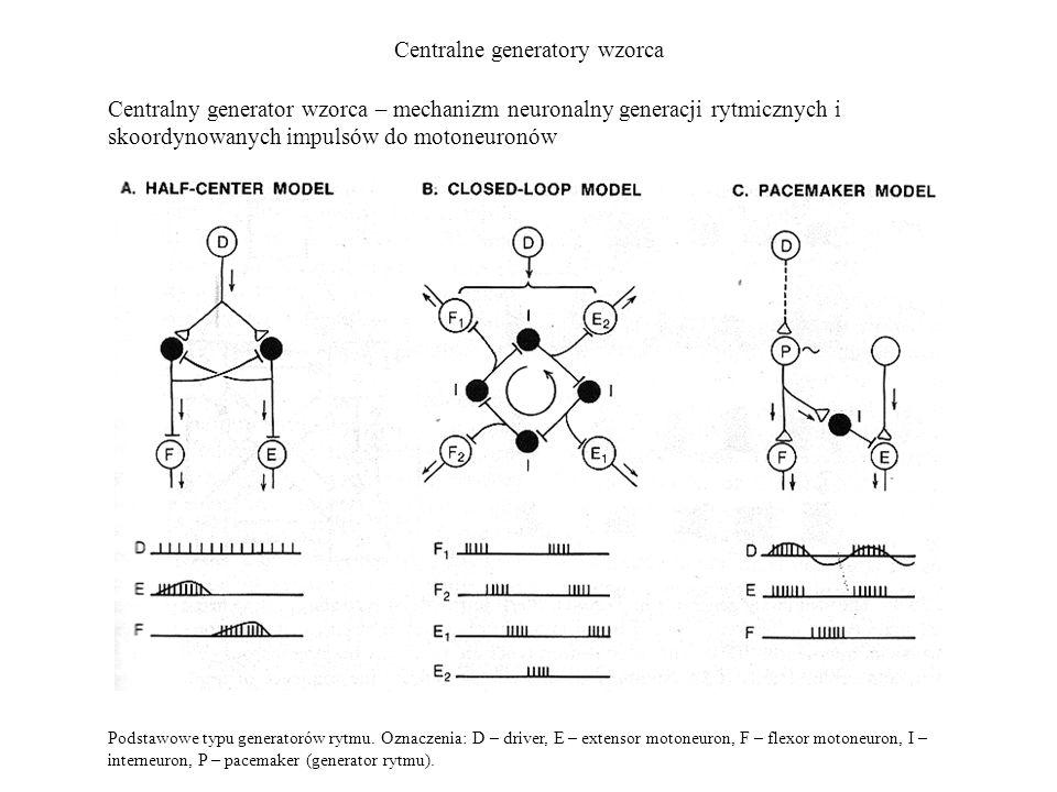 Centralne generatory wzorca Centralny generator wzorca – mechanizm neuronalny generacji rytmicznych i skoordynowanych impulsów do motoneuronów Podstaw