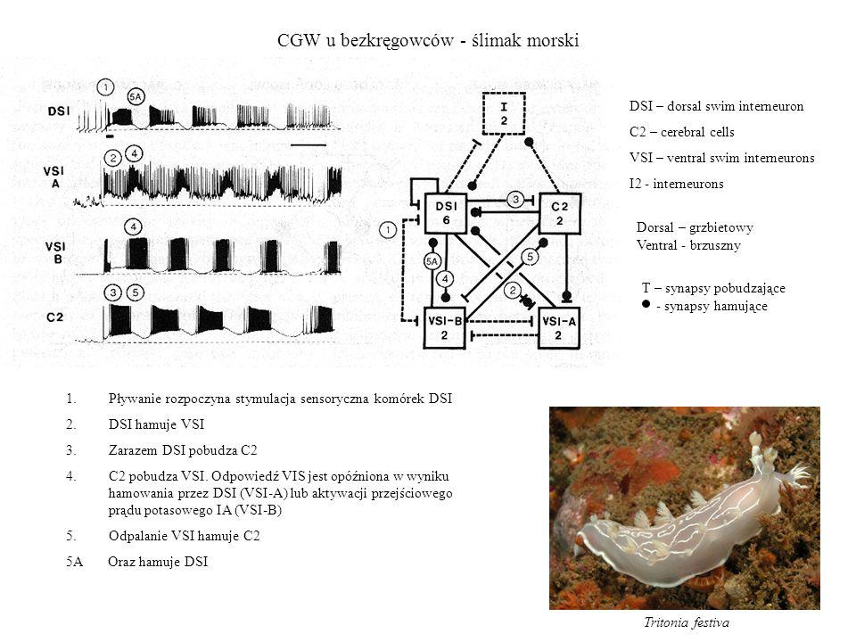 CGW u bezkręgowców - ślimak morski Tritonia festiva DSI – dorsal swim interneuron C2 – cerebral cells VSI – ventral swim interneurons I2 - interneuron