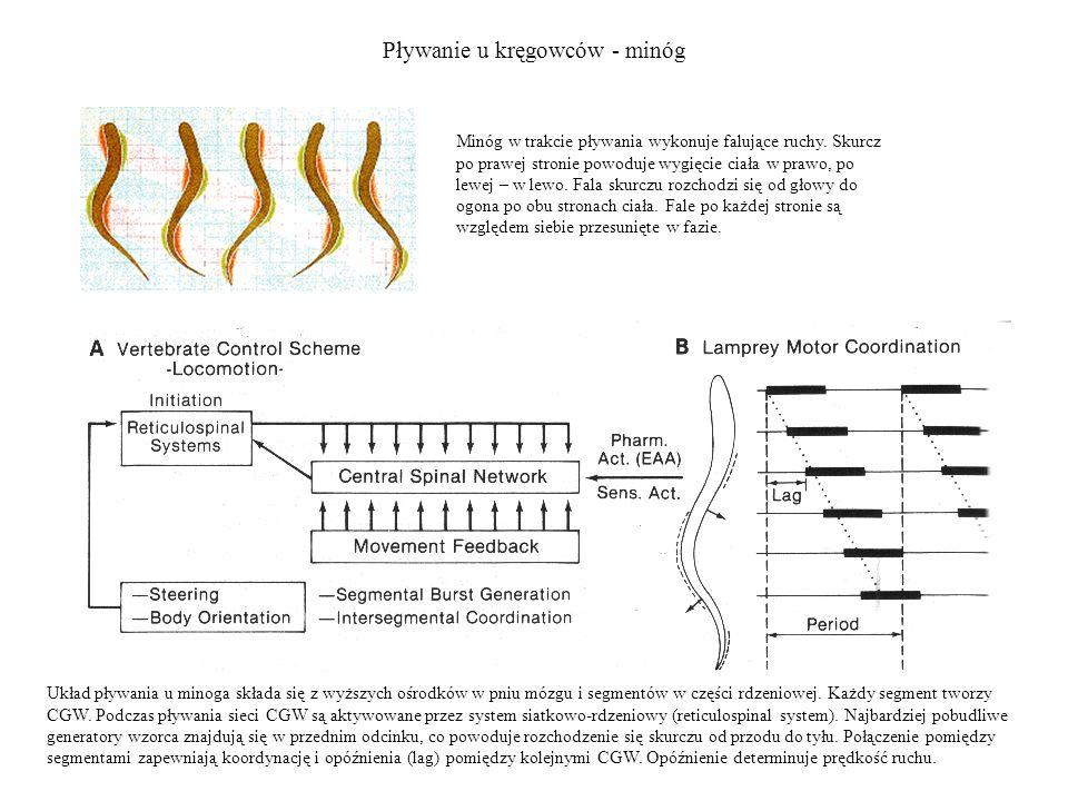 Pływanie u kręgowców - minóg Układ pływania u minoga składa się z wyższych ośrodków w pniu mózgu i segmentów w części rdzeniowej. Każdy segment tworzy