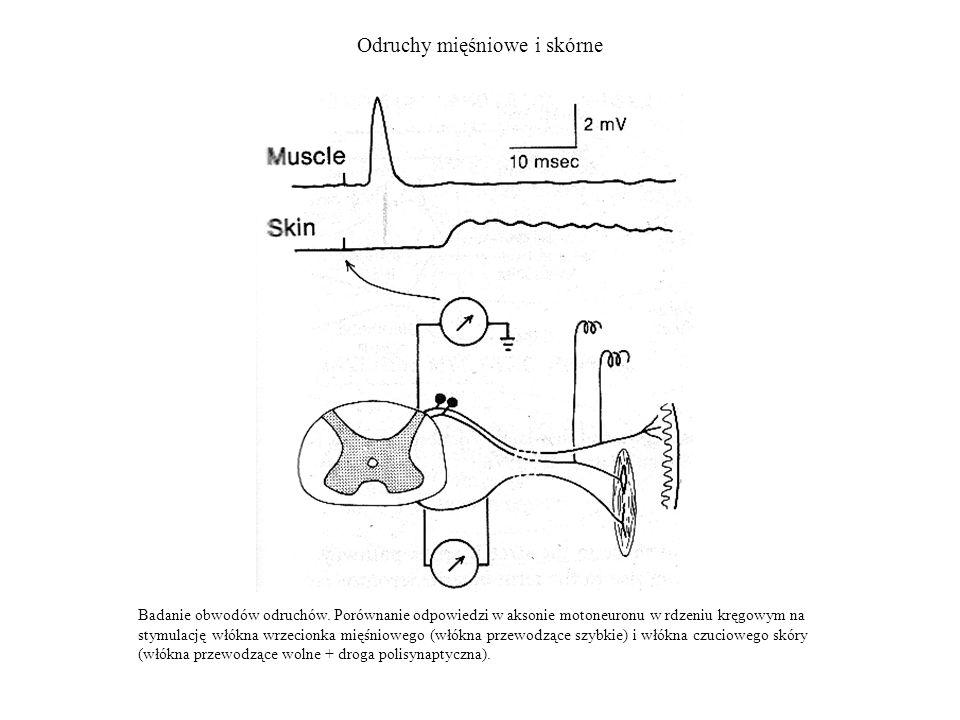 Odruchy mięśniowe i skórne Badanie obwodów odruchów. Porównanie odpowiedzi w aksonie motoneuronu w rdzeniu kręgowym na stymulację włókna wrzecionka mi