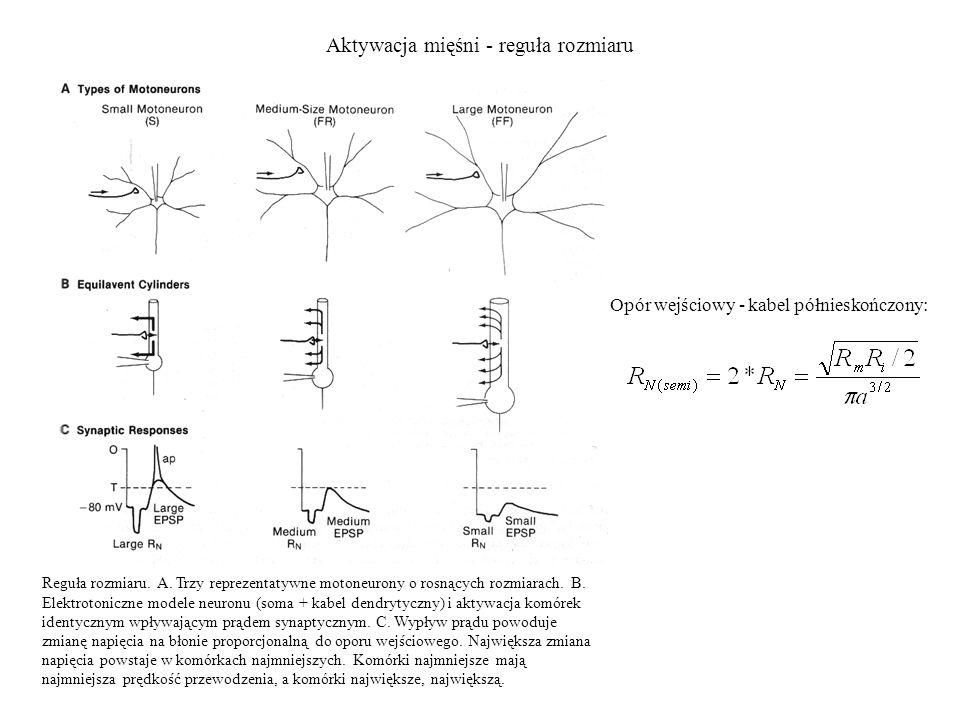 Aktywacja mięśni - reguła rozmiaru Opór wejściowy - kabel półnieskończony: Reguła rozmiaru. A. Trzy reprezentatywne motoneurony o rosnących rozmiarach