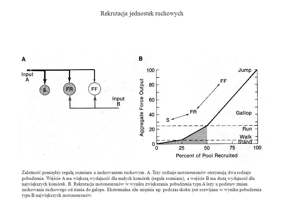 Rekrutacja jednostek ruchowych Zależność pomiędzy regułą rozmiaru a zachowaniem ruchowym. A. Trzy rodzaje motoneuronów otrzymują dwa rodzaje pobudzeni