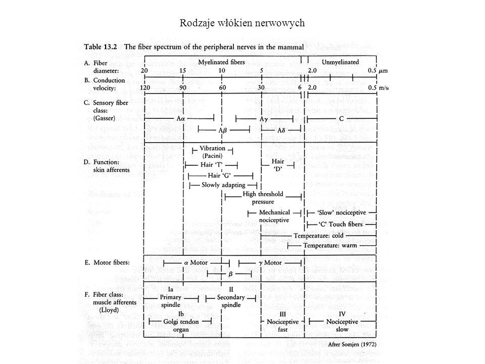 Połączenia monosynaptycze i polisynaptyczne A.Badanie obwodów odruchów.