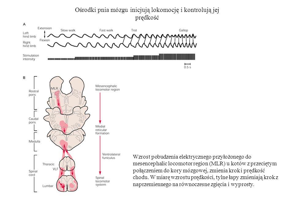 Ośrodki pnia mózgu inicjują lokomocję i kontrolują jej prędkość Wzrost pobudzenia elektrycznego przyłożonego do mesencephalic locomotor region (MLR) u