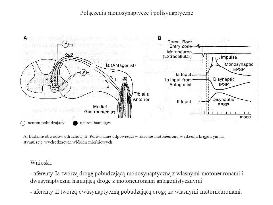 Połączenia monosynaptycze i polisynaptyczne A. Badanie obwodów odruchów. B. Porównanie odpowiedzi w aksonie motoneuronu w rdzeniu kręgowym na stymulac