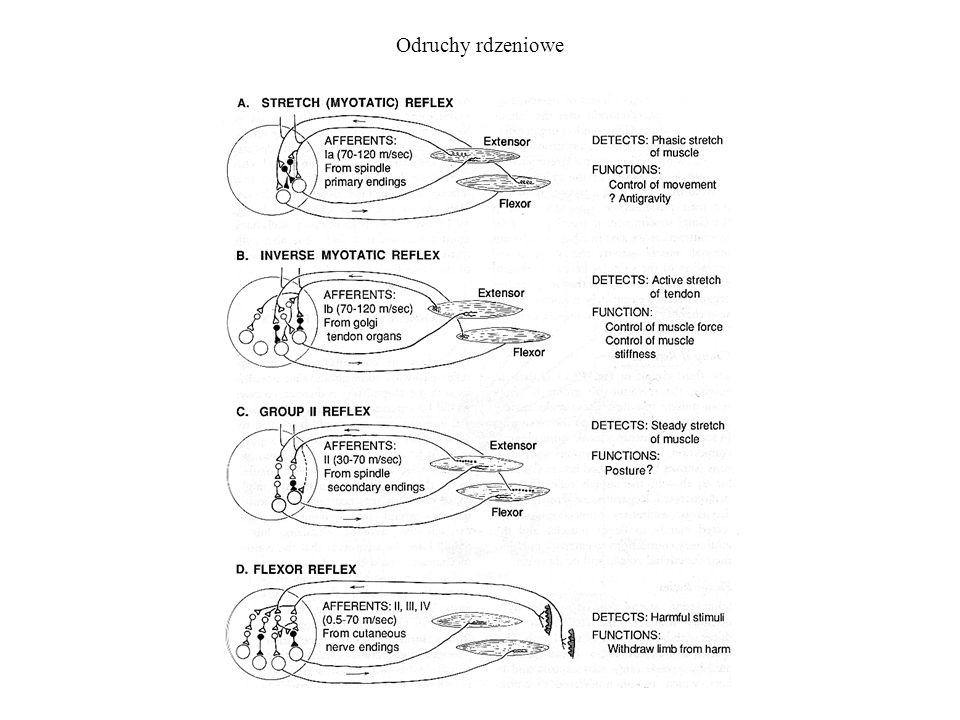 Odruchy rdzeniowe i wyższe Bodźce czuciowe wyzwalają refleksy poprzez obwody rdzenia i dłuższe obwody wyższe.