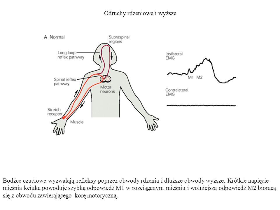 Odruchy rdzeniowe i wyższe Bodźce czuciowe wyzwalają refleksy poprzez obwody rdzenia i dłuższe obwody wyższe. Krótkie napięcie mięśnia kciuka powoduje