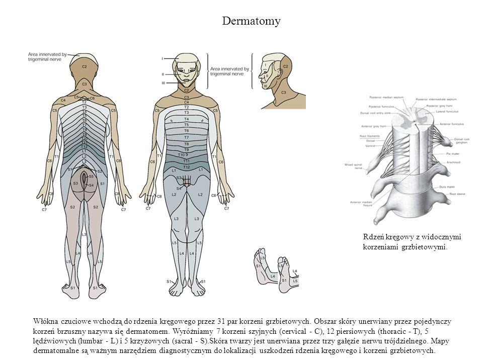 Dermatomy Włókna czuciowe wchodzą do rdzenia kręgowego przez 31 par korzeni grzbietowych. Obszar skóry unerwiany przez pojedynczy korzeń brzuszny nazy