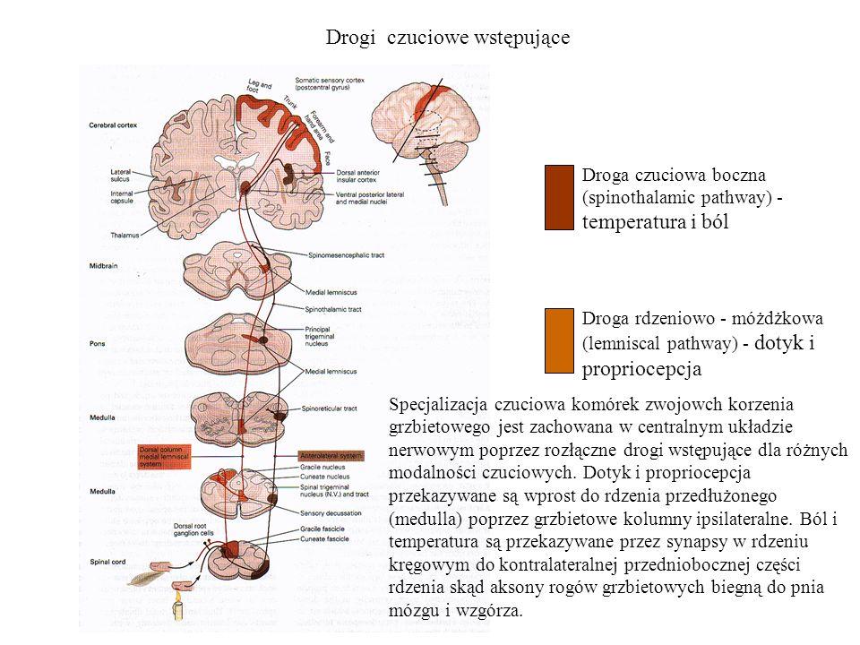 Drogi czuciowe wstępujące Droga czuciowa boczna (spinothalamic pathway) - temperatura i ból Droga rdzeniowo - móżdżkowa (lemniscal pathway) - dotyk i