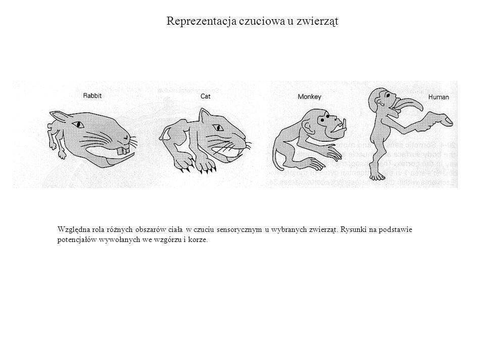 Reprezentacja czuciowa u zwierząt Względna rola różnych obszarów ciała w czuciu sensorycznym u wybranych zwierząt. Rysunki na podstawie potencjałów wy