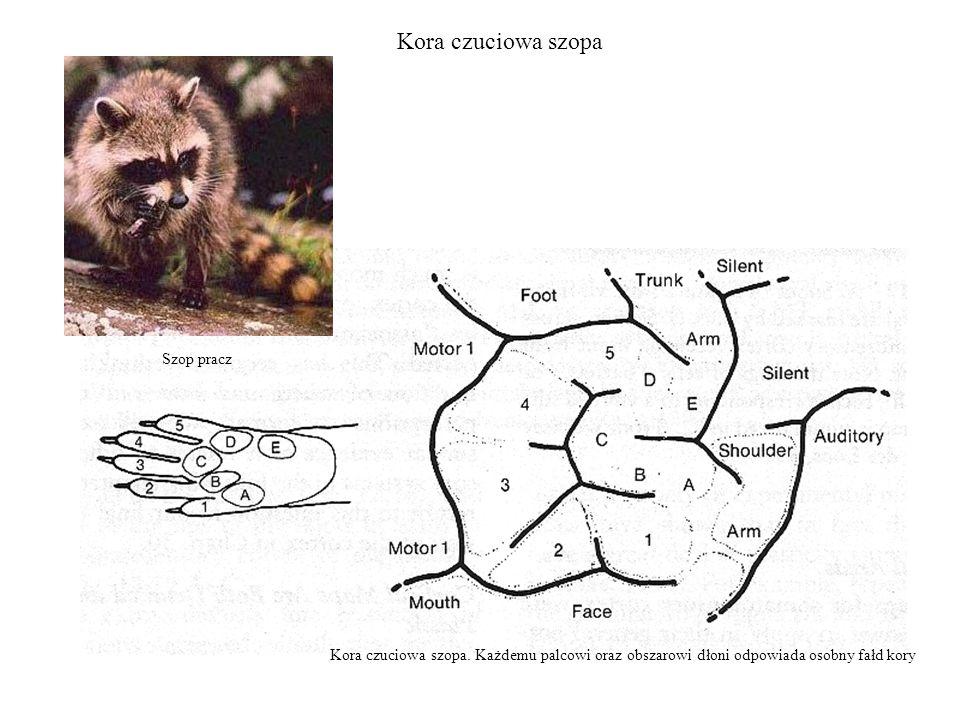 Kora czuciowa szopa Kora czuciowa szopa. Każdemu palcowi oraz obszarowi dłoni odpowiada osobny fałd kory Szop pracz