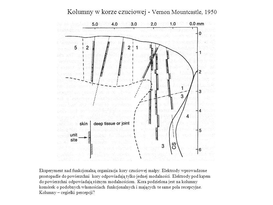 Kolumny w korze czuciowej - Vernon Mountcastle, 1950 Eksperyment nad funkcjonalną organizacja kory czuciowej małpy. Elektrody wprowadzone prostopadle