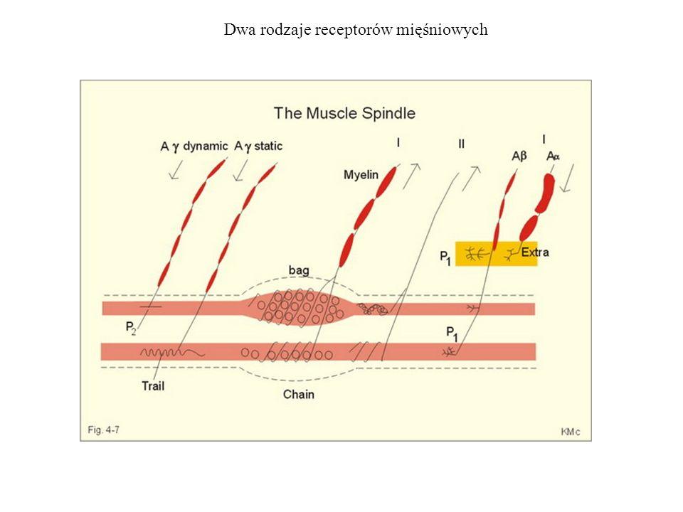 Dwa rodzaje receptorów mięśniowych