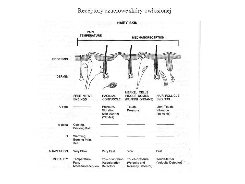 Propriocepcja i kinestezja Propriocepcja – zmysł czucia w układzie mięśniowo-szkieletowym : -receptory w mięśniach -receptory ścięgnach -receptory w stawach Kinestezja – zmysł pozycji oraz ruchu kończyn oraz zmysł wysiłku, siły i ciężaru: -receptory w skórze -proprioreceptory -wejścia zstępujące w wyższych piętrach układu nerwowego Receptory włączone w propriocepcję i kinestezję w stawie kolanowym.