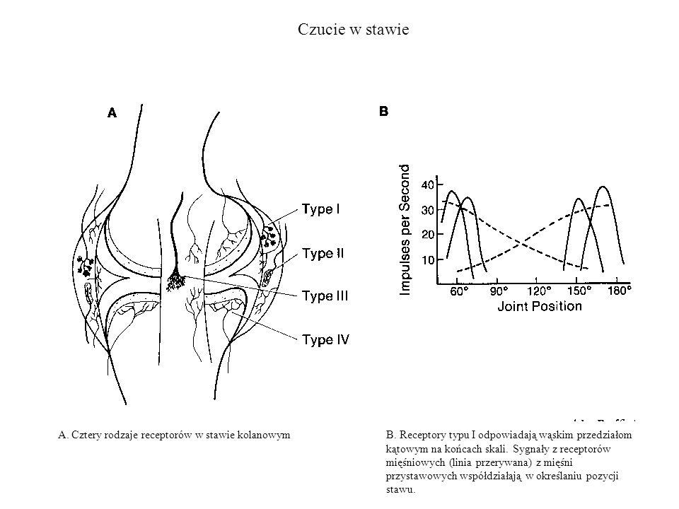 Czucie w stawie A. Cztery rodzaje receptorów w stawie kolanowymB. Receptory typu I odpowiadają wąskim przedziałom kątowym na końcach skali. Sygnały z