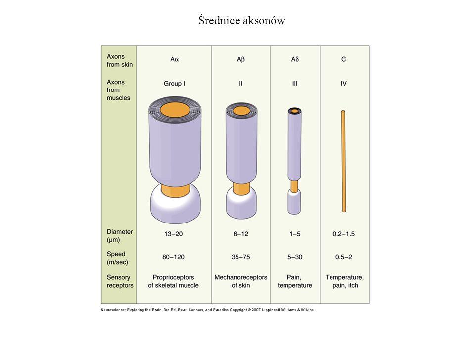 Drogi czuciowe wstępujące Droga czuciowa boczna (spinothalamic pathway) - temperatura i ból Droga rdzeniowo - móżdżkowa (lemniscal pathway) - dotyk i propriocepcja Specjalizacja czuciowa komórek zwojowch korzenia grzbietowego jest zachowana w centralnym układzie nerwowym poprzez rozłączne drogi wstępujące dla różnych modalności czuciowych.