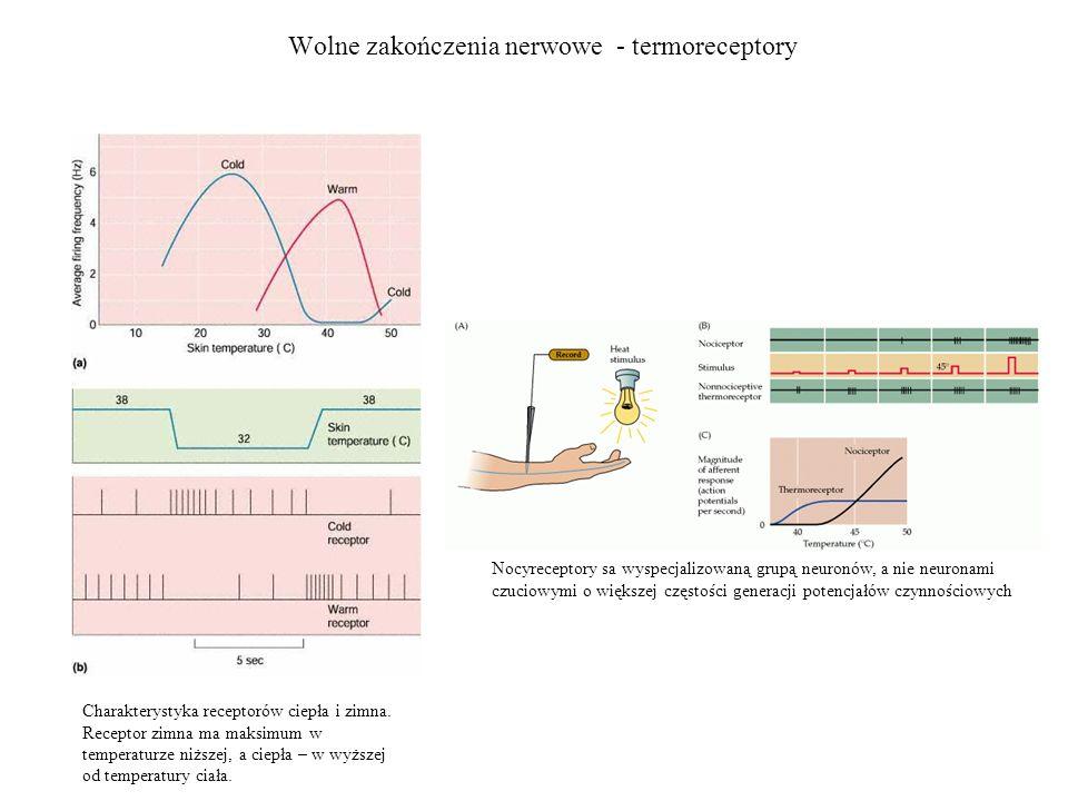 Wolne zakończenia nerwowe - termoreceptory Nocyreceptory sa wyspecjalizowaną grupą neuronów, a nie neuronami czuciowymi o większej częstości generacji